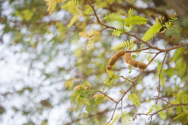 Tamarind sull'albero
