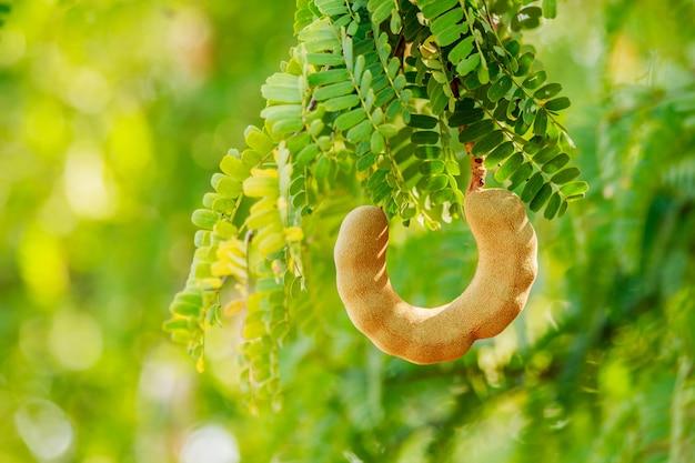 Tamarindo dolce sull'albero in theg arden tailandia.