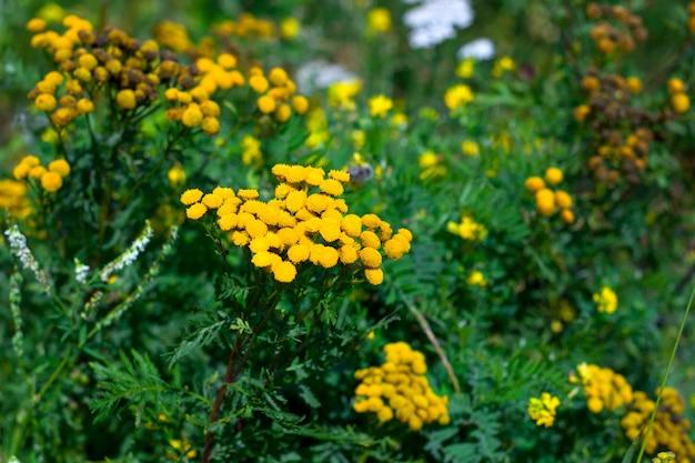 Tansy fiori gialli su un fied