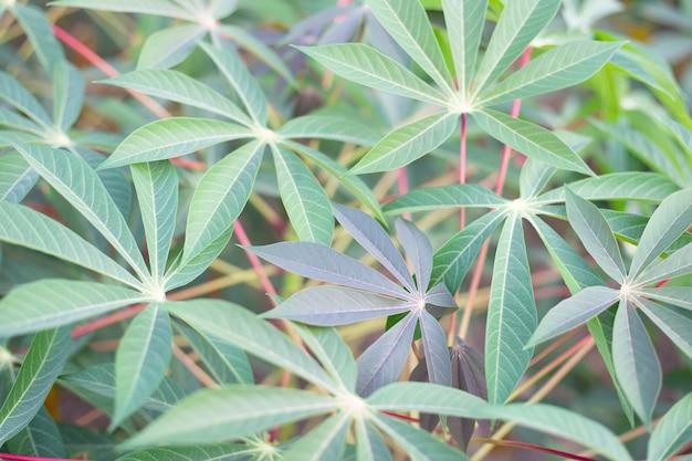 Tapioca o campo di manioca