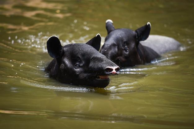 Tapiro che nuota sull'acqua nel santuario della fauna selvatica
