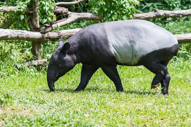 Tapiro malese nel giardino zoologico.