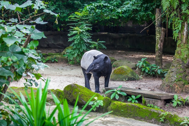 Tapiro malese nello zoo