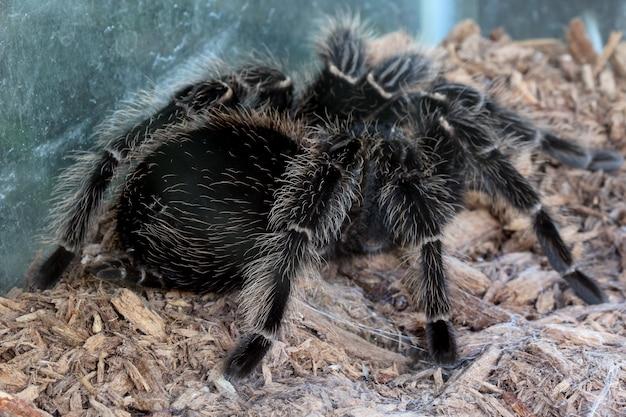 Tarantola, ragno