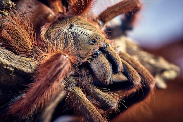 Tarantula tapinauchenius gigas