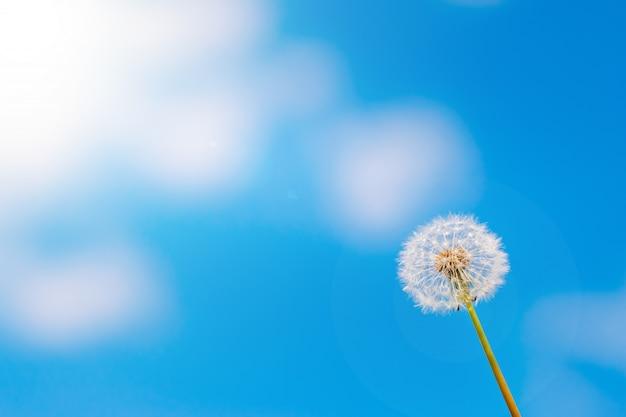 Tarassaco con semi attraverso un cielo nuvoloso blu