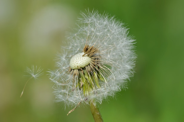 Tarassaco con semi senza foglie