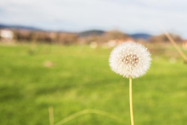 Tarassaco, fragile e volatile con il vento