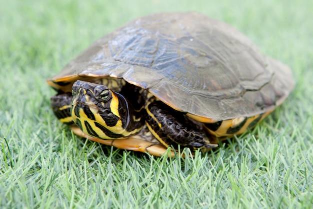 Tartaruga comune verde e gialla