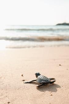 Tartaruga del bambino sulla spiaggia di sabbia che va nell'oceano dell'acqua. puntello esotico del piccolo cucciolo in direzione del mare per sopravvivere.