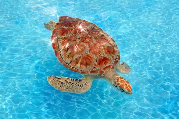Tartaruga di mare verde chelonia mydas caraibi
