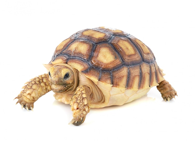 Tartaruga su spazio bianco