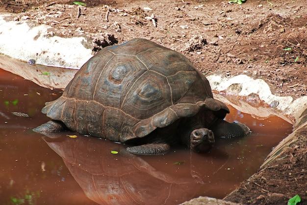 Tartaruga sull'isola carceraria di zanzibar, tanzania