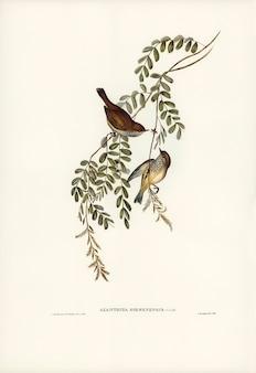 Tasmanian acanthiza (acanthiza diemenensis) illustrato da elizabeth gould