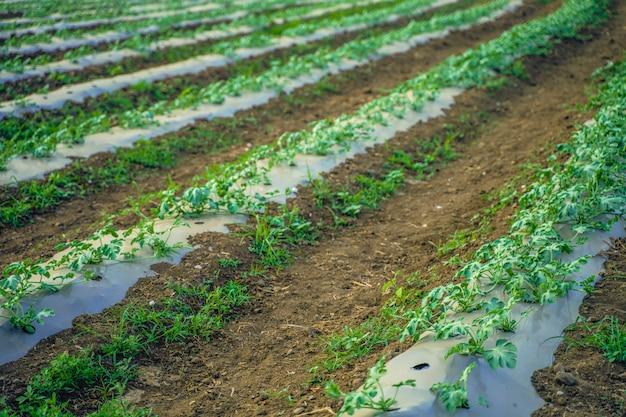 Tecniche agricole indiane moderne di anguria