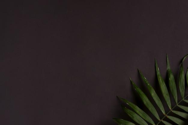 Telaio ad angolo dal ramoscello sempreverde di foglia di palma esotica tropicale su sfondo nero.