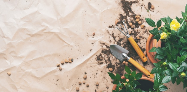 Telaio di attrezzi da giardinaggio con mini rose in vaso con lo spazio della copia. trapianto di piante