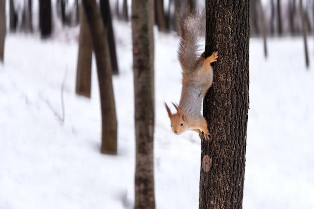 Tema animalesco lo scoiattolo si estende sull'albero nella foresta invernale