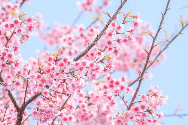 Ciliegio Fiori Bianchi O Rosa.Sfondo Di Fiori Di Ciliegio In Stile Sfocato Scaricare Vettori