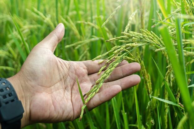 Tenere in mano l'agricoltura del campo di riso giallo e verde