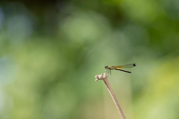 Tenuta della libellula su rami asciutti e spazio della copia