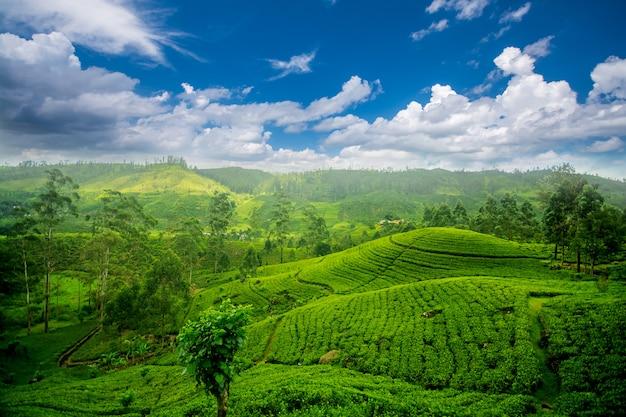 Tenute di tè dello sri lanka a nuwara eliya