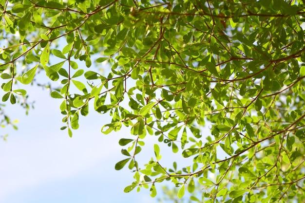 Terminalia ivorensis, foglie, in giardino naturale