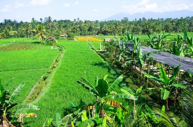 Terrazze di riso. risaie tradizionali a bali. azienda agricola verde del giacimento del riso