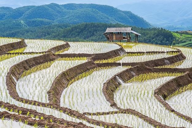Terrazzo del riso circondato dagli alberi e montagne a pa bong piang, chiangmai, tailandia.