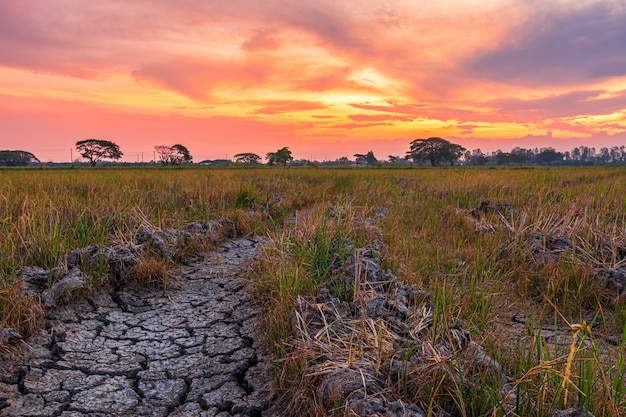 Terreno asciutto di brown o struttura al suolo incrinata con il campo di mais verde con il fondo del cielo di tramonto.