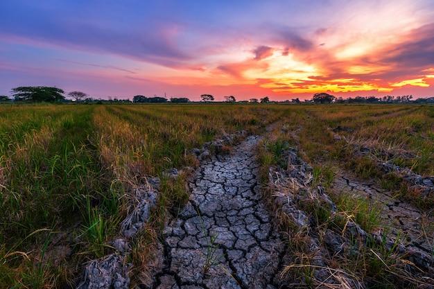 Terreno asciutto marrone o struttura incrinata del terreno con il campo di mais verde
