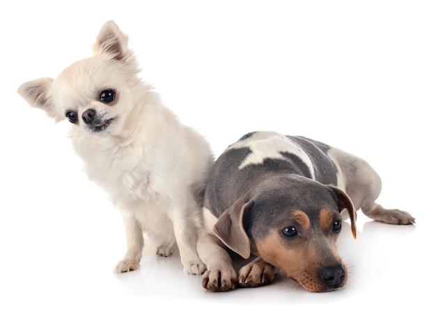 Terrier brasiliano e chihuahua