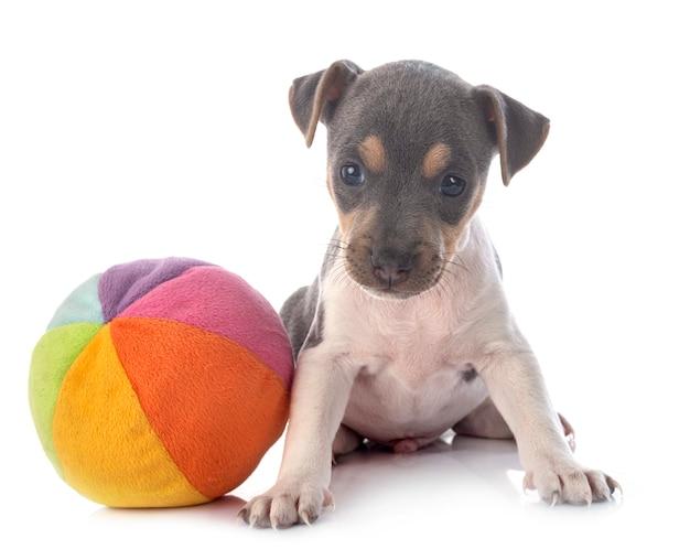 Terrier brasiliano