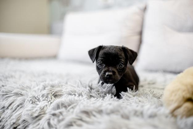 Terrier di giocattolo nero del cucciolo che si siede su un sofà e su un gioco