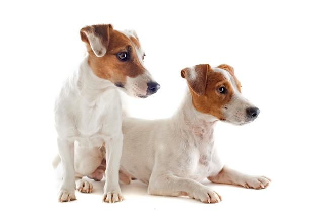 Terrier di jack russel