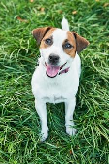 Terrier di jack russell del cane sull'erba