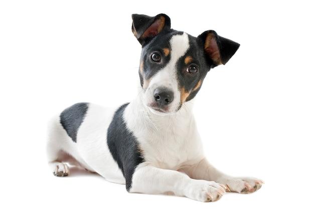 Terrier di russel della presa del cucciolo su bianco