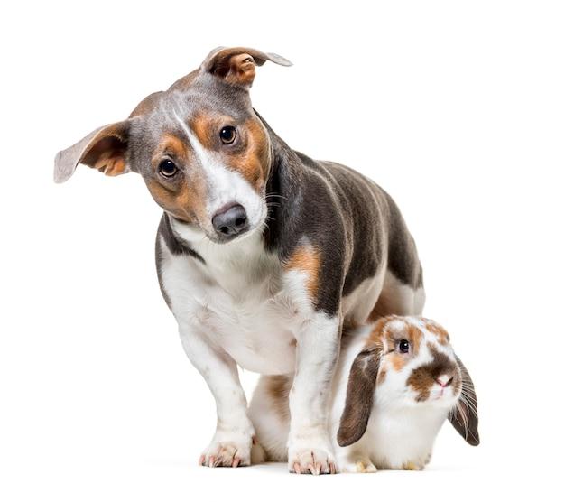 Terrier e coniglio di jack russell che si siedono contro il fondo bianco