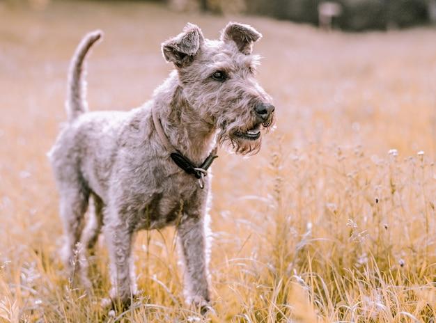 Terrier sveglio del primo piano in un campo di erba