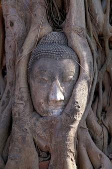 Testa antica del buddha nella radice dell'albero