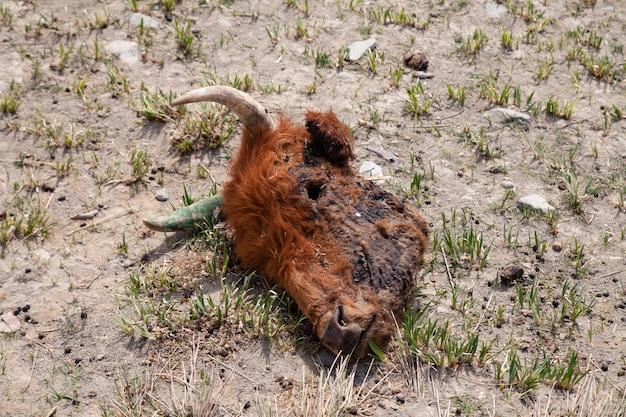Testa di animale morto sul pavimento