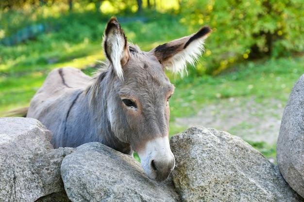 Testa di asino divertente asino grigio membro addomesticato della famiglia dei cavalli