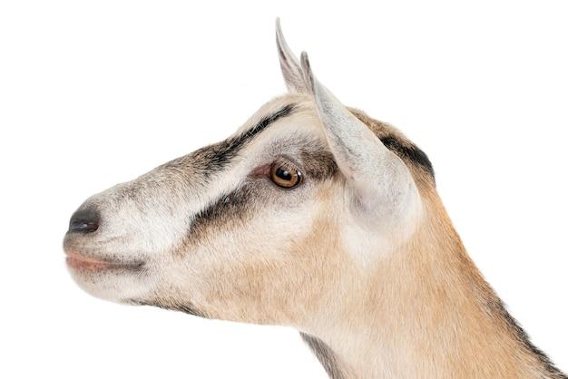 Testa di capra su bianco