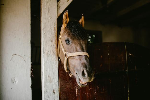 Testa di cavallo che mastica fieno