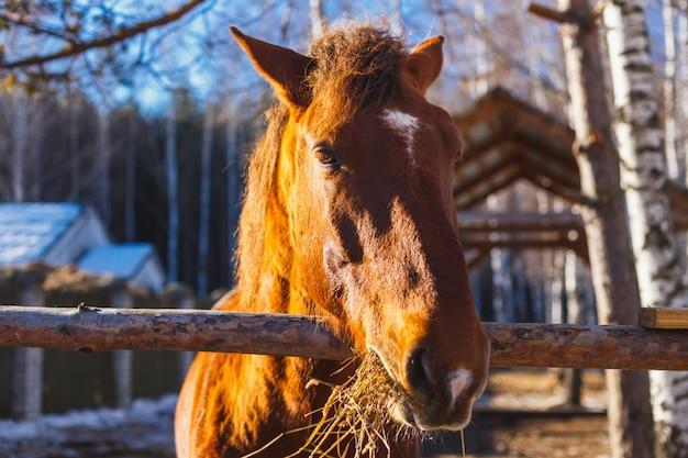 Testa di cavallo rossa che mangia fieno un giorno soleggiato