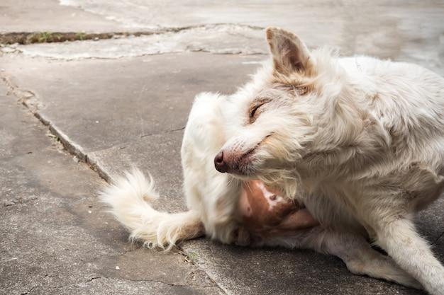 Testa di graffio del cane ibrido tailandese.