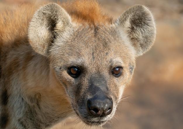 Testa di iena maculata da vicino
