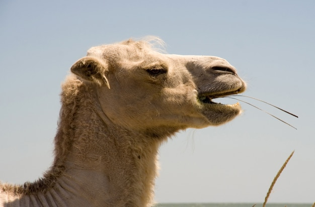Testa di masticazione di cammello