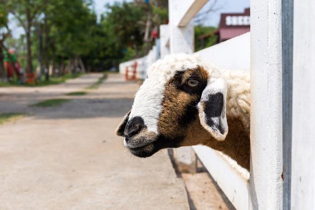 Testa di pecora fuori dal recinto.
