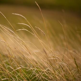 Testa di seme sul gambo dell'erba